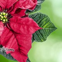 plantas de navidad toxicas para perros