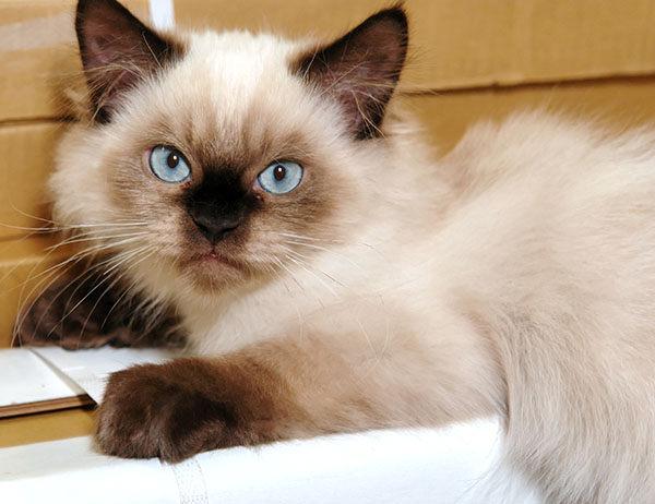 gato himalaya bebe