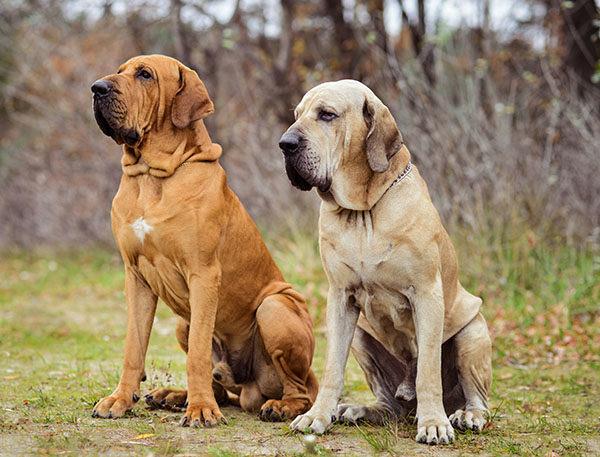 perros fila brasilero