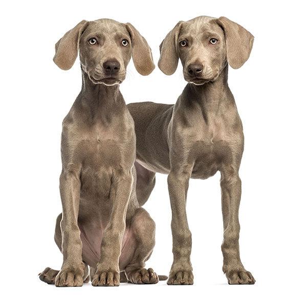 cachorros braco de weimar