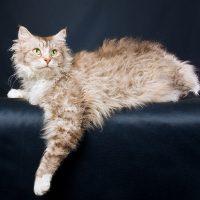 gato raza La Perm
