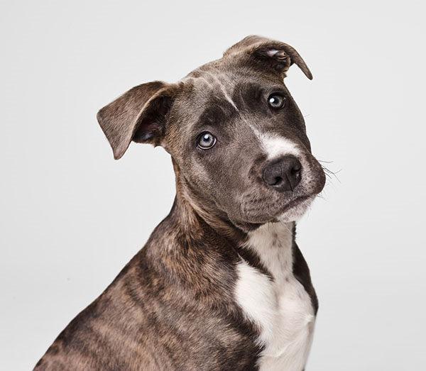 amstaff american staffordshire perros