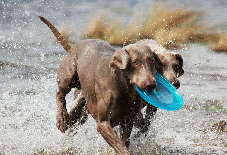 fantasma azul perro