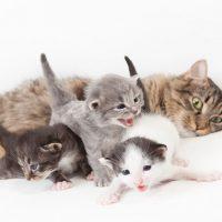 después de parir una gata cuando se puede esterilizar