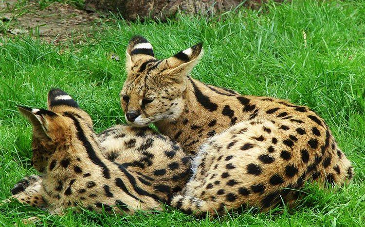 gato savannah raza