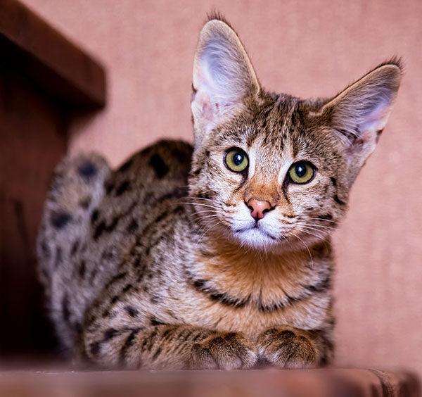 gato raza savannah