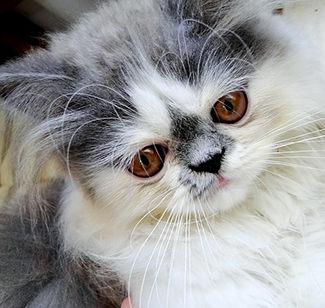 Nombres de gatitas persa