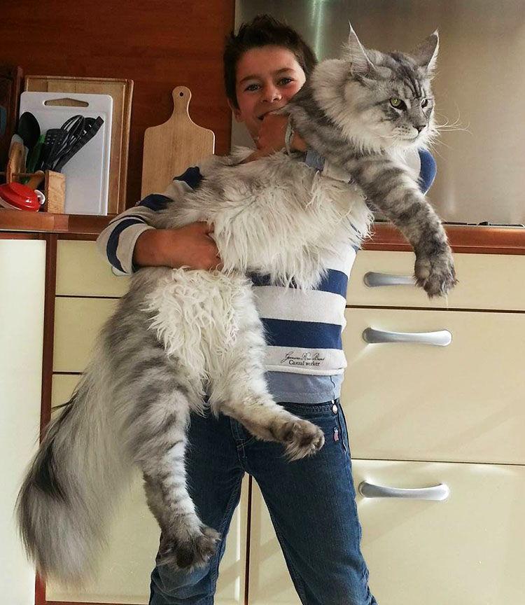 la raza de gatos mas grande del mundo