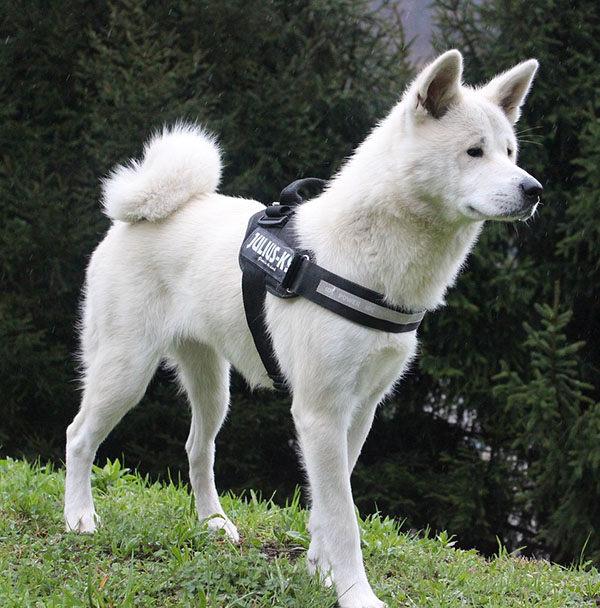 akita inu blanco