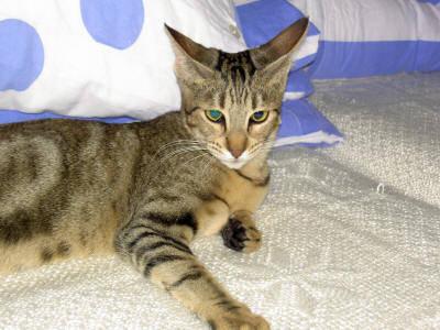 gato sokoke caracteristicas