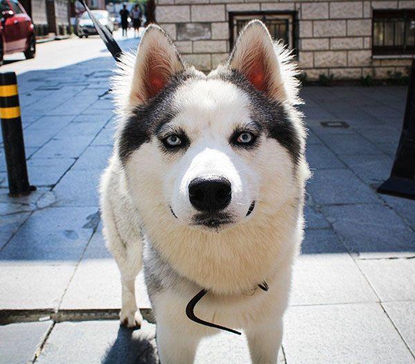 husky siberiano características
