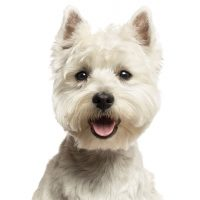 westie west highland white terrier