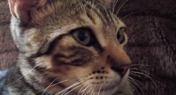 sokoke gato raza