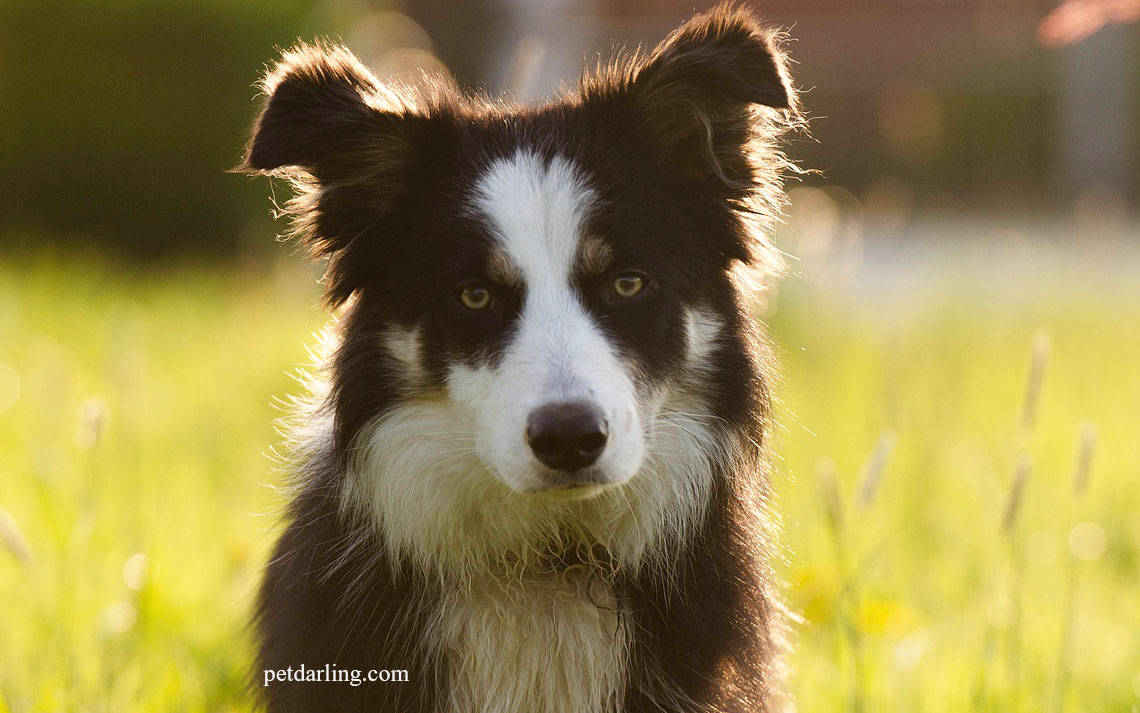 border collie caracteristicas raza