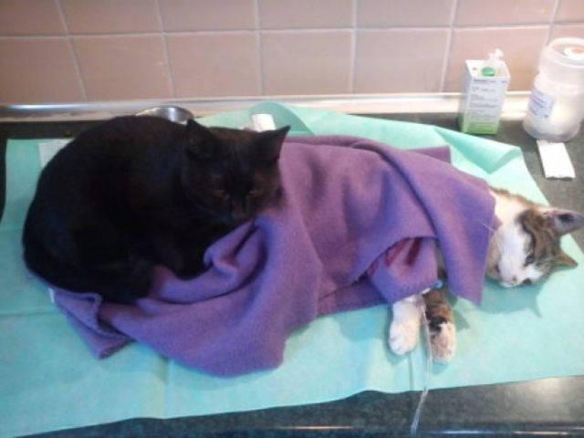 gato enfermero polaco cuida animales enfermos