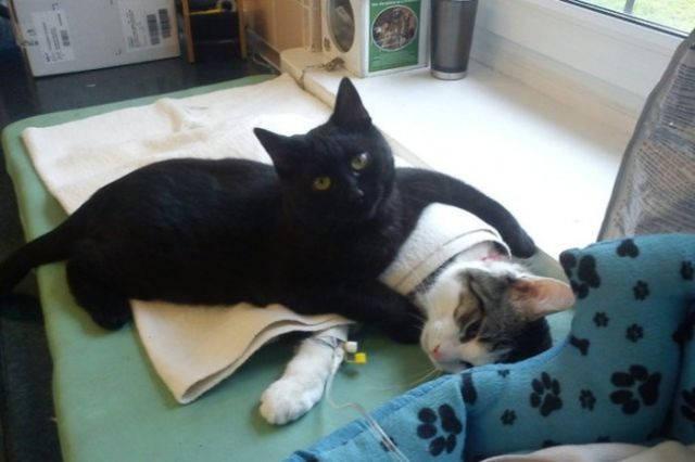 gato cuida animales enfermos en hospital veterinario