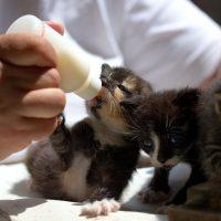 que comen los gatitos pequeños