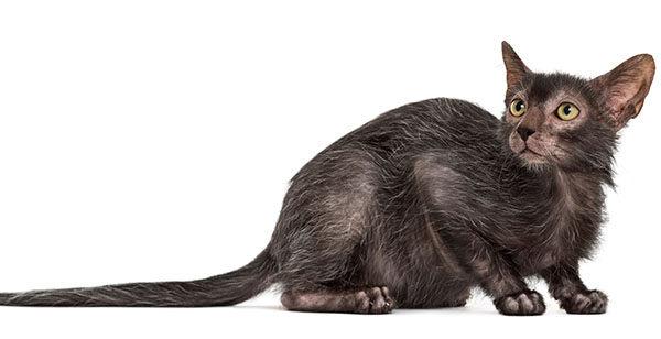 gato lobo