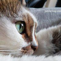 taurina para gatos
