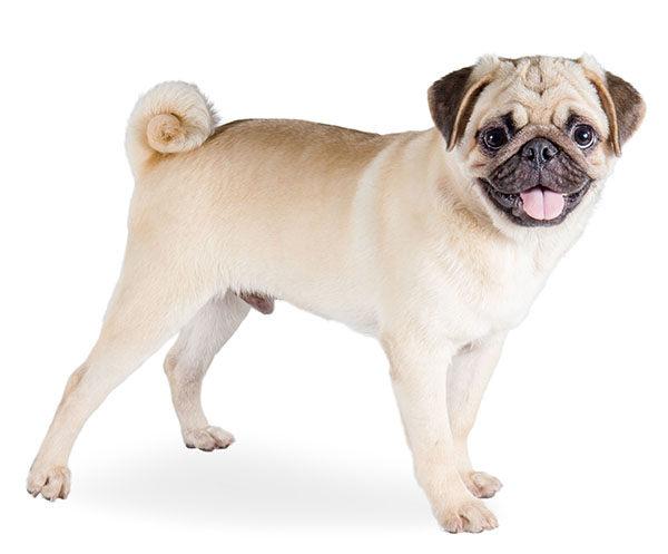 perros carlino