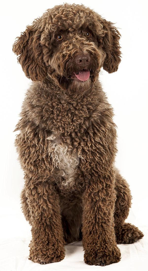 perro de agua chocolate
