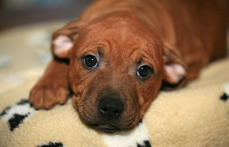sintomas moquillo en perros
