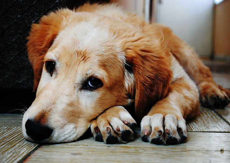 Cura moquillo canino