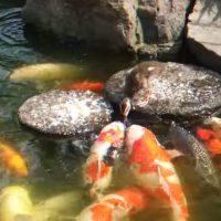 pato da de comer a peces