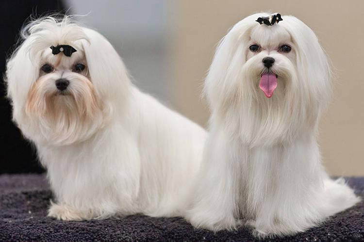 perros de pelo largo fotos
