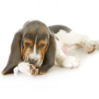 por qué los perros se lamen las patas