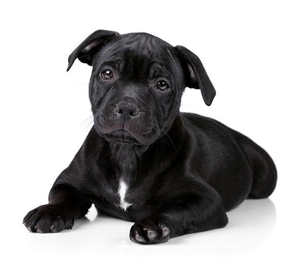 staffordshire bullterrier cachorro