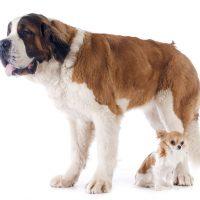 san bernardo perro