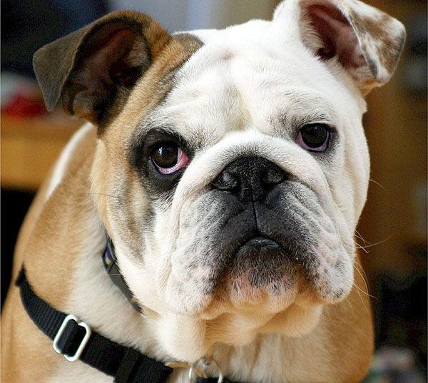 cabeza del bulldog inglés