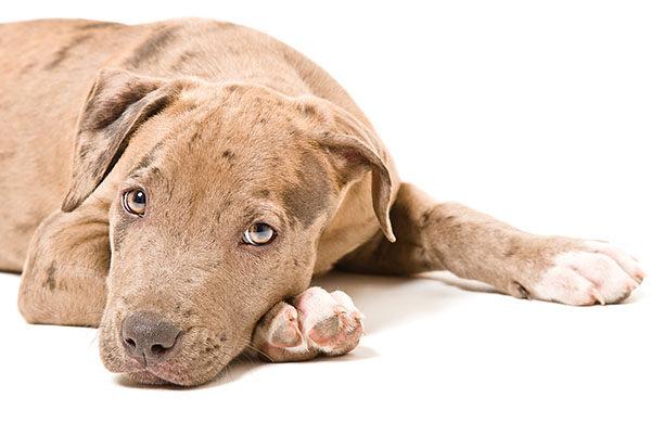 perros pitbull terrier