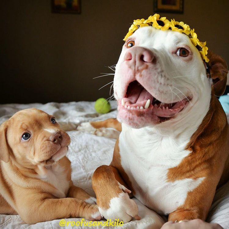 fotos de pitbulls cachorros