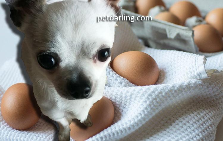 huevo para perros comer huevo