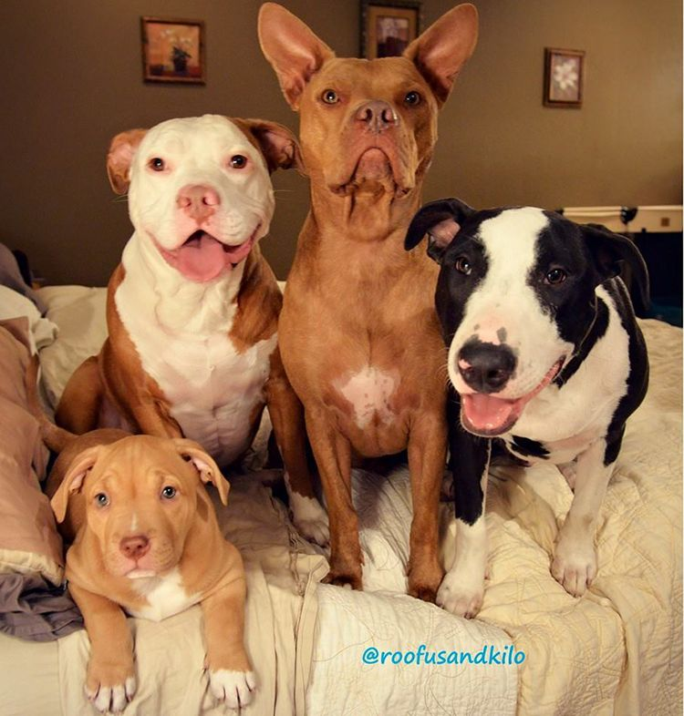 fotos de pitbull cachorro