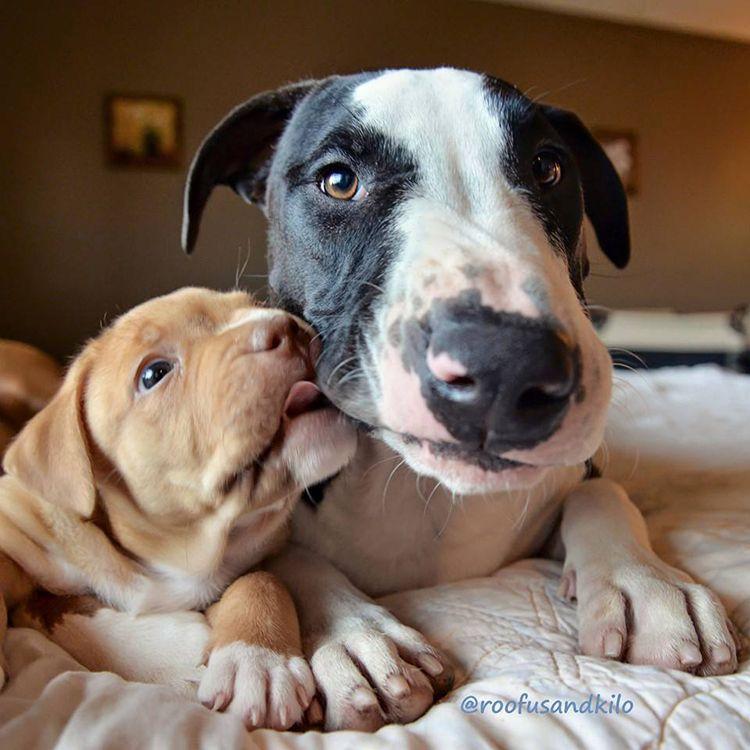 fotos de cachorro pitbull salvado adoptado kilo