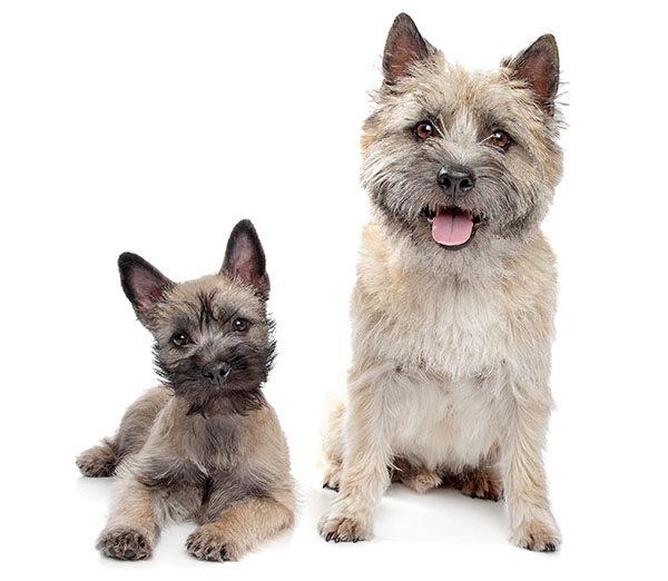 cairn terrier cachorros