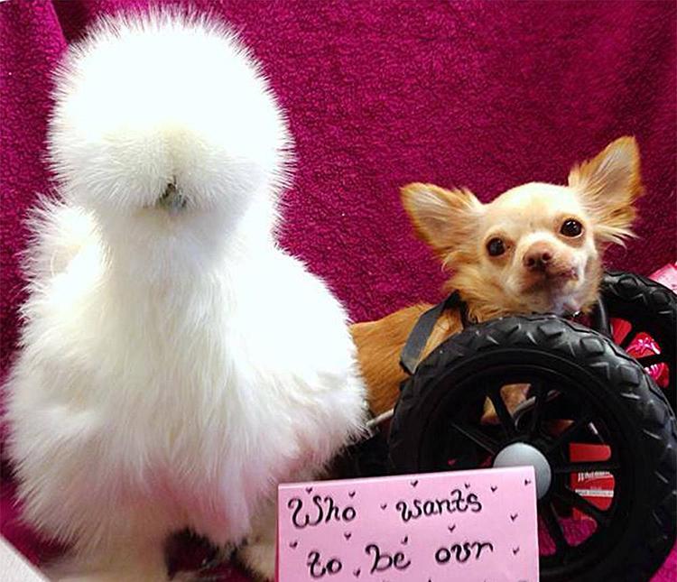 chihuahua silla de ruedas pollo amistad
