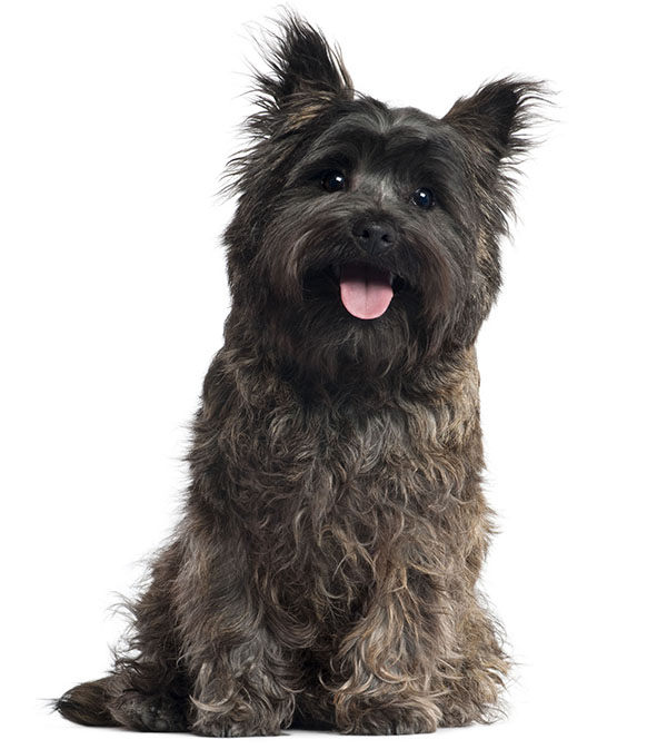 cairn terrier marron