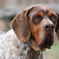 pachon navarro perro caracteristicas