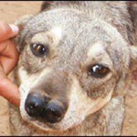 perro bolivia dos narices