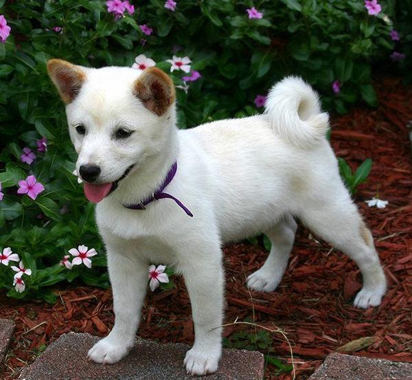 shiba inu cachorro blanco