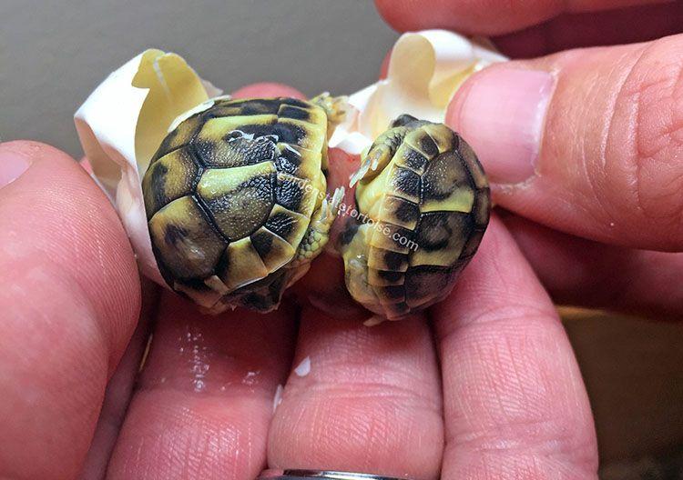tortugas gemelas separadas al nacer