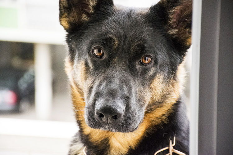 perros guardianes razas