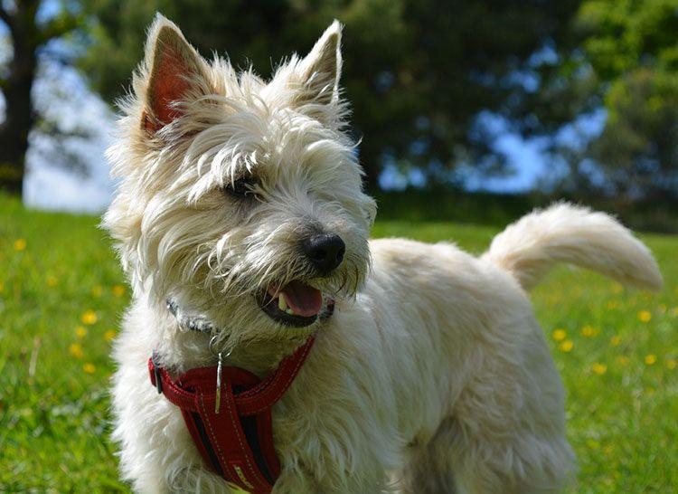 cairn terrier perro