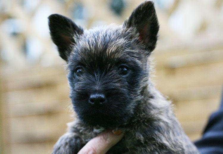 cairn terrier bebé