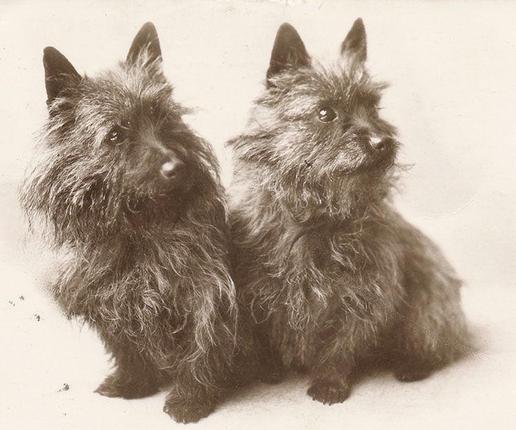 cairn terrier origen