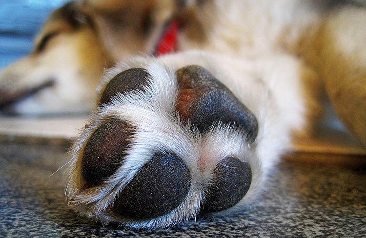 porque los perros se lamen las patas